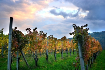 Vineyard walk_1