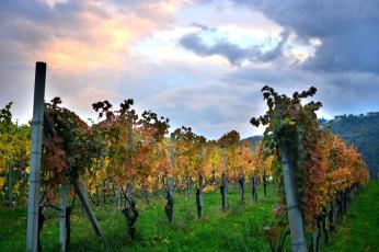 Vineyard walk_1