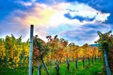 rodello vines2 (36 of 1)